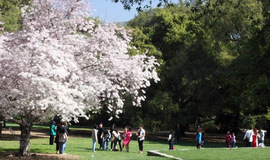 Pasadena house garden - Descanso gardens cherry blossom festival ...