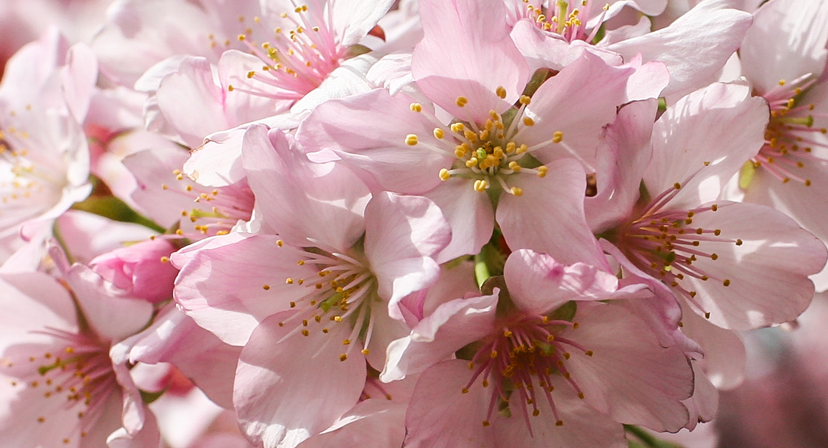 Celebrate Spring with Cherry Blossoms