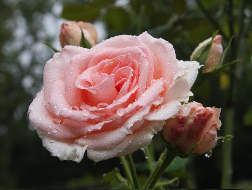 'Pearly-Gates'-rose