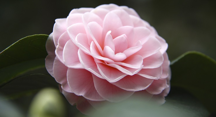 Celebrate Camellias, Cherry Blossoms and More with Descanso Gardens This February and March