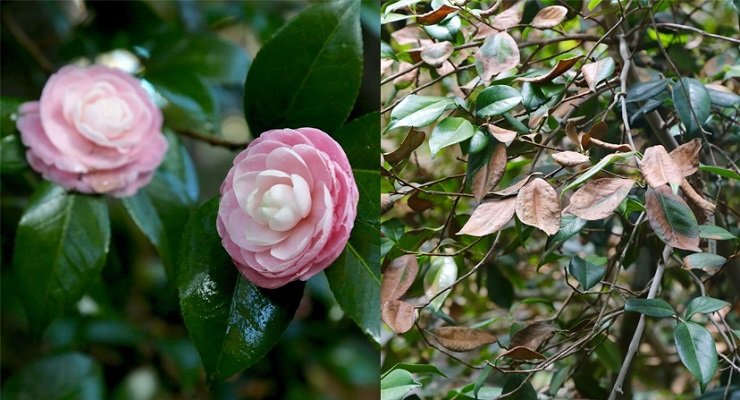 Camellias Feeling the Burn at Descanso Gardens